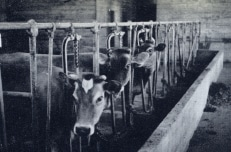 Milk cows inside dairy barn, 1941 photo